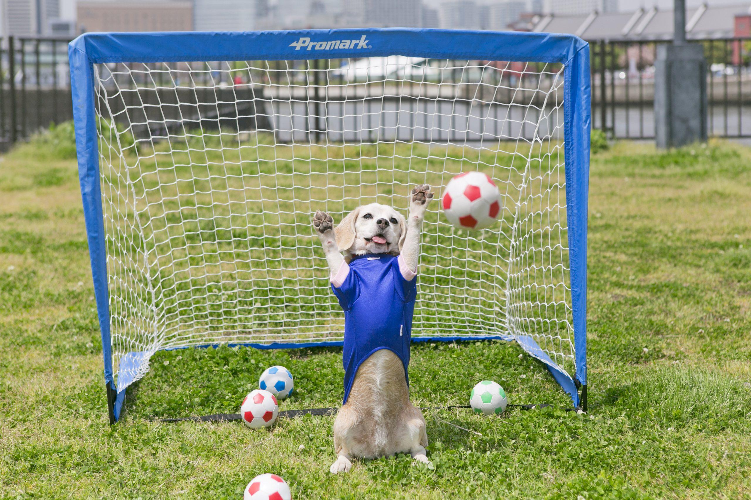 Vier schnelle Pfoten: Beagle beeindruckt mit seinen Torwartqualitäten