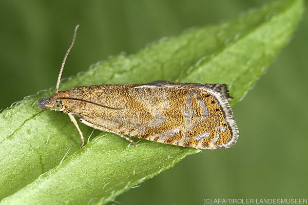 Auf dem Bild sieht man den neu entdeckten Schmetterling.