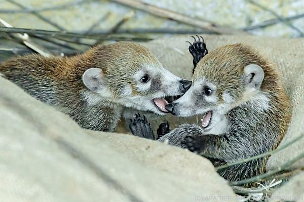 """Auf dem Bild sieht man die kleinen Nasenbären-Zwillinge """"Bonita"""" und """"Belize"""" in Schönbrunn."""